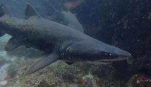 shark-plett