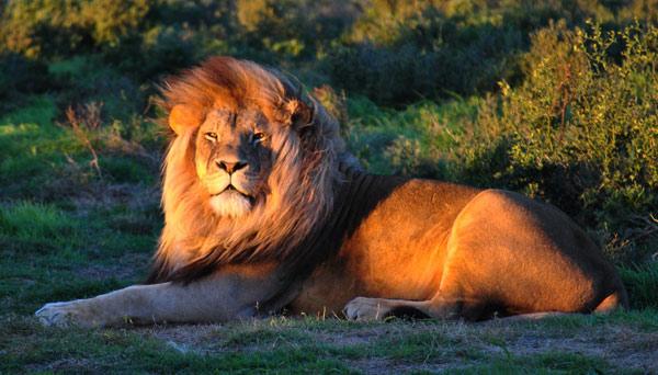 Lions-Plett