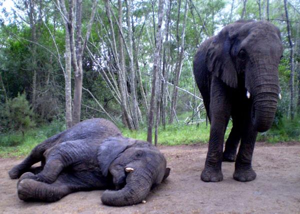 Elephants-Plett