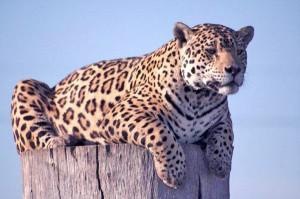 Leopard-Plett