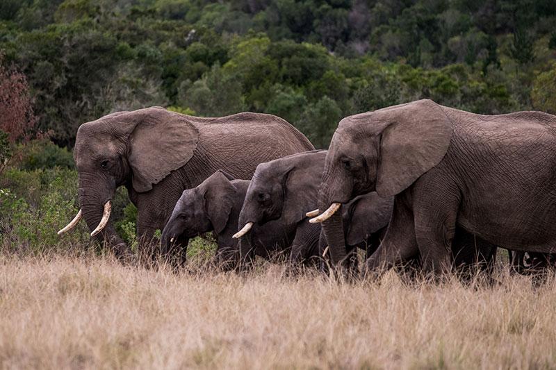Plett-Game-Reserve-Elephants