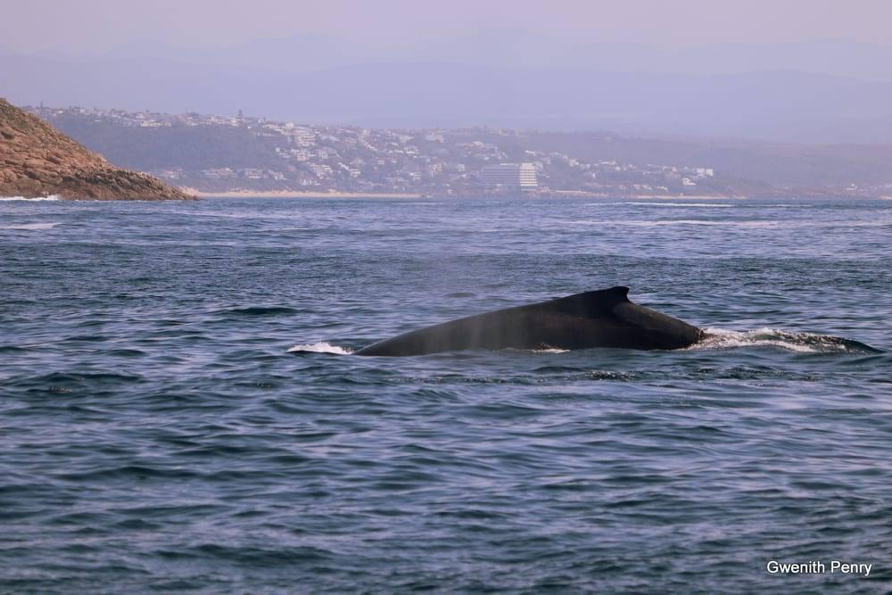 whale plettenberg bay